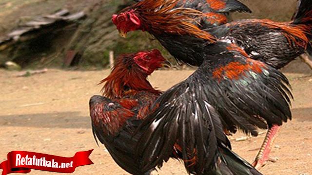 Apa Itu Jurus Bongkar Dari Ayam Bangkok