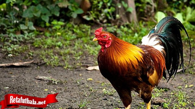 Penting Kenali Sifat-sifat Ayam