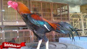 Penting Untuk Melihat Tingka Laku Ayam