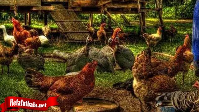 Trik Jika Ingin Ternak Ayam Tarung