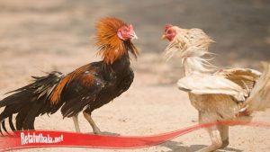 Kiat Untuk Pulihkan Mental Ayam S128