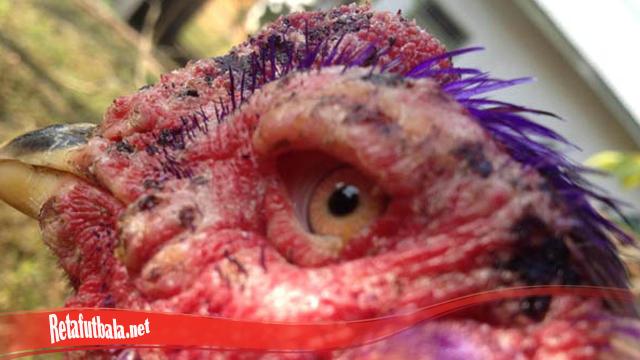 Kiat Untuk Sembuhkan Mata Ayam S128