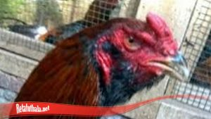 Sangar Dengan Brewok Pada Ayam S128