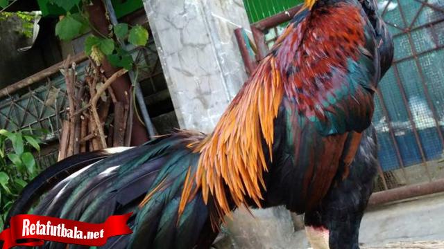 Ketahui Ekor Ayam Tarung Yang Sesunggunya